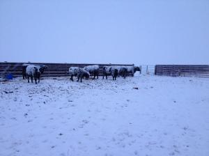 Bulls want their hay!