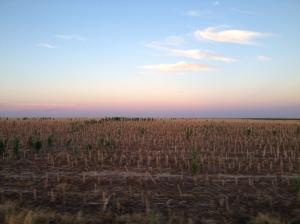 Corn stalks in late November