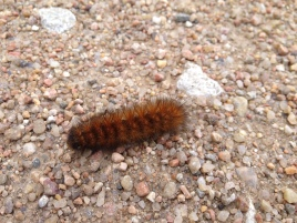 I came across this fuzzy kid on my walk.